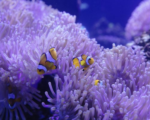 clownfish-and-corals-in-the-tank-at-aquarium-LCAJ5M6